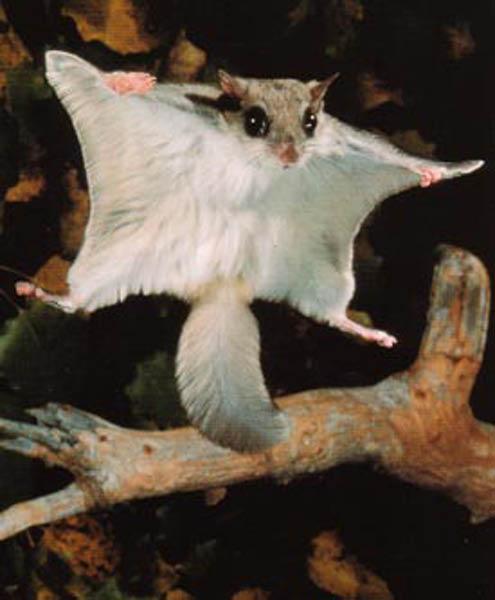flying-squirrel