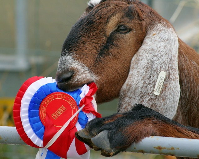 Goat_eating_ribbon